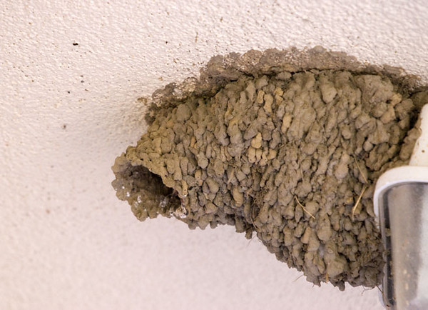 """<div class=""""jaDesc""""> <h4> Cliff Swallow Nest - July 27, 2009</h4> <p>I got a tip that there were cliff swallow nests underneath what used to be a drive-thru pharmacy overhead.  There were 6 nests; all of them looked like gourd-shaped mud jugs plastered between the ceiling and wall.  Adult swallows were feeding chicks in 4 of them.</p> </div>"""