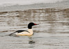 """<div class=""""jaDesc""""> <h4>Male Common Merganser in Creek - January 1, 2013 </h4> <p>This male Common Merganser was paddling around with a small group of Canada Geese in an unfrozen creek section. This was the last unique bird I saw on my way home from the Christmas Bird Count outing.</p> </div>"""
