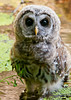 """<div class=""""jaDesc""""> <h4> Juvenile Barred Owl Standing in Bog - July 1, 2012 </h4> <p> This juvenile Barred Owl flew right toward me and landed in the bog about 12 feet away.  He saw a feather in the water which he retrieved and took back to his perch.</p> </div>"""