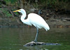 "<div class=""jaDesc""> <h4> Great Egret Finds New Fishing Perch - August 2006 </h4> <p> I spent several hours watching a Great Egret fish off this log in a lagoon in Virginia Beach, VA.</p> </div>"
