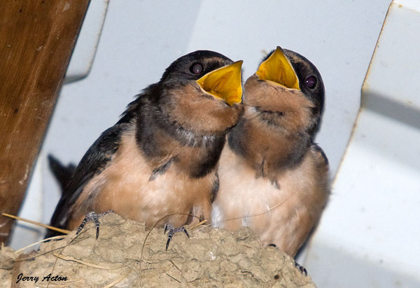 "<div class=""jaDesc""> <h4> Hungry Barn Swallow Chicks #2 - July 28, 2009</h4> <p> </p> </div>"