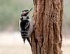 """<div class=""""jaDesc""""> <h4> Downy Woodpecker on Locust Trunk - March 31, 2011 </h4> <p> Our regular Downy Woodpecker visitors keep getting more tame all the time. This guy lets me get within 3 feet of him when I am replenishing suet before he will fly to the nearby crabapple tree.</p> </div>"""