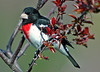 "<div class=""jaDesc""> <h4> Male Rose-breasted Grosbeak in Budding Crabapple Tree</h4> </div>"