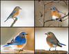 "<div class=""jaDesc""> <h4> Male and Female Bluebirds Collage </h4> <P> <p> </div>"