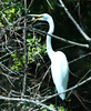 "<div class=""jaDesc""> <h4> Great Egret Hiding in Brush - August 2006 </h4> </div>"