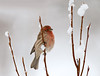 "<div class=""jaDesc""> <h4> House Finch on a Cold Snowy Morning </h4> </div>"