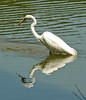 "<div class=""jaDesc""> <h4> Great Egret Patience Pays Off - August 2006 </h4> </div>"