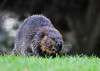 """<div class=""""jaDesc""""> <h4> Beaver Grazing - November 14, 2012 </h4> <p> I was invited to get photos of a Beaver family that grazes in a side yard in Greene, NY.  This was the adult male who came out of the creek first to snack on the luscious grass.</p> </div>"""