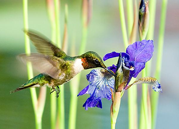 """<div class=""""jaDesc""""> <h4> SUMMER - Male Ruby-throated Hummingbird at Water Iris </h4> </div>"""