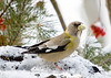 "<div class=""jaDesc""> <h4> Female Evening Grosbeak on Snowy Feeder Perch </h4> </div>"