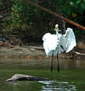 "<div class=""jaDesc""> <h4> Great Egret Approaching Perch - August 2006 </h4> </div>"