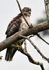 """<div class=""""jaDesc""""> <h4> Immature Red-tailed Hawk in Dead Tree - September 4, 2012 </h4> <p> This immature Red-tailed Hawk was perched in a dead tree beside a winding country road in Lancaster County, PA.  He was looking out over a small stream that carved its way through an un-mowed field.</p> </div>"""