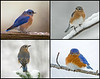 "<div class=""jaDesc""> <h4> Bluebirds in Winter Collage </h4> <P> <p> </div>"