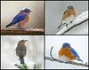 "<div class=""jaDesc""> <h4> Bluebirds in Winter Collage </h4> <P> <p> </div>"