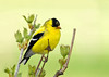"<div class=""jaDesc""> <h4> Goldfinch in Cranberry Bush</h4> </div>"