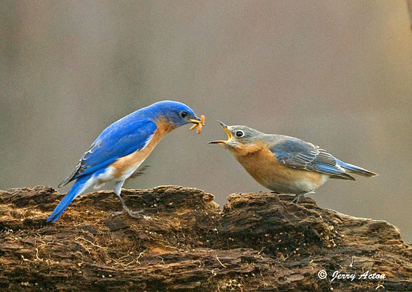"""<div class=""""jaDesc""""> <h4> Bluebird Pair - Double Mealworm Pass - April 11, 2009 </h4> <p> The male Bluebird was showing the female that he will be a good provider to their chicks as he passed 2 mealworms to her. The female is now sitting on eggs in their nest.</p> </div>"""