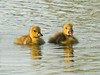 "<div class=""jaDesc""> <h4> Pair of Canada Goslings</h4> </div>"