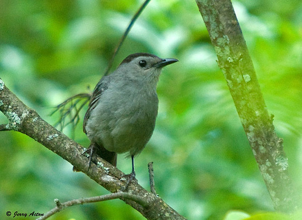 "<div class=""jaDesc""> <h4>Catbird Chattering in Woods - July 19, 2009</h4> <p>This guy started chattering at me from a tree in the woods as I was walking by.  He carried on quite a lengthy conversation lasting several minutes. </p> </div>"