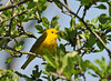 "<div class=""jaDesc""> <h4> Yellow Warbler Searching for Bugs - May 7, 2010</h4> <p> This Yellow Warbler was flying around among tree leaves looking for bugs. I was lucky to briefly catch him out in the open.</p> </div>"