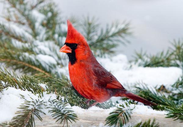 "<div class=""jaDesc""> <h4> Cardinal on Snowy Pine Boughs </h4> </div>"