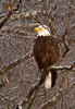 """<div class=""""jaDesc""""> <h4> Adult Bald Eagle Perched Along River - January 27, 2013 </h4> <p> In the area where we saw this adult Bald Eagle, the river water was shallow, clear and fast running.  Probably a pretty reliable fishing spot.</p> </div>"""