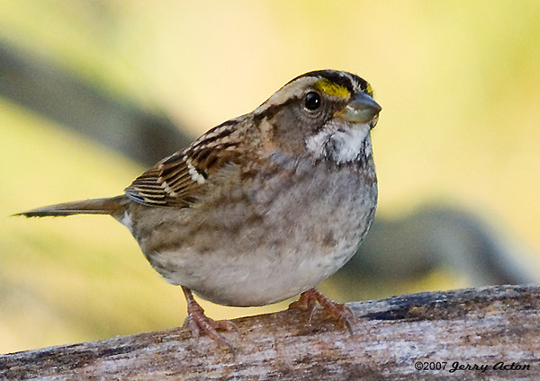 """<div class=""""jaDesc""""> <h4>White-throated Sparrow - Front View - October 30, 2007 </h4> <p> We have not had a White throated Sparrow hang around in the fall since we moved here.  This year we have had a pair around for about a month now.</p> </div>"""