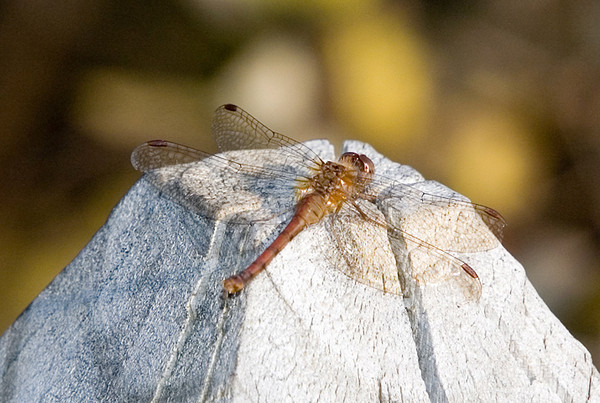 "<div class=""jaDesc""> <h4>Dragonfly Warming Itself on Stone- November 2006 </h4> <p>  </p> </div>"