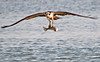 """<div class=""""jaDesc""""> <h4> Osprey with Huge Catch - April 15, 2012</h4> <p> This Osprey was out of range of my lens when he dove into the water.  He struggled to get airborne as he came up with this 2 foot long fish.  Two seagulls immediately started harassing him.  Trying to avoid them, he turned directly toward me flying close to the water.</p> </div>"""