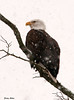 "<div class=""jaDesc""> <h4> Bald Eagle in Snow Storm</h4> </div>"