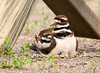 """<div class=""""jaDesc""""> <h4> Mom Killdeer with Newborn Chicks - June 13, 2011 </h4> <p>Four Killdeer chicks were only a few hours old.  They were staying mostly tucked under mom to stay warm in the cool morning air.</p> </div>"""