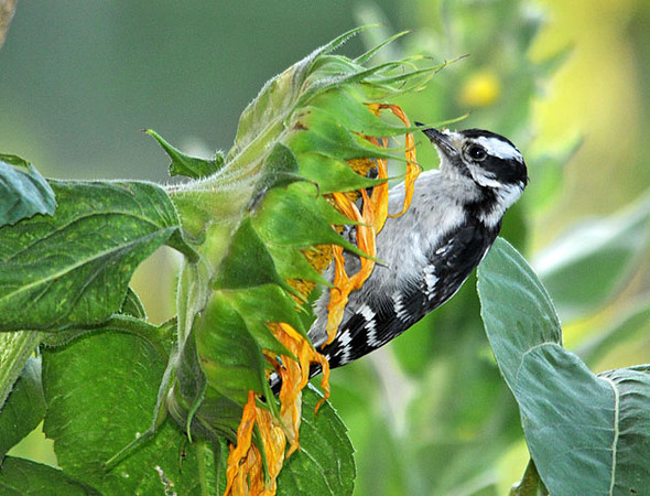 """<div class=""""jaDesc""""> <h4>Downy Woodpecker at Sunflower - August 4, 2010 - Video Attached </h4> <p> Many of the sunflowers in our yard have finished blooming and are beginning to dry. This female Downy Woodpecker is already eating the sunflower seeds right out of the seed head. </p> </div> </br> <center> <a href=""""http://www.youtube.com/watch?v=bQ3-ZxCtgwY  """" class=""""lightbox""""><img src=""""http://d577165.u292.s-gohost.net/images/stories/video_thumb.jpg"""" alt=""""""""/></a> </center>"""