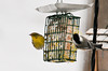 """<div class=""""jaDesc""""> <h4>Male Pine Warbler Snacking on Raw Suet - January 25, 2013</h4> <p> He would perch in a nearby pine tree and wait for a time when the suet feeder was not crowded.  Sometimes he would just fly to the ground below the suet and pick up bits of suet dropped by the other birds.</p> </div>"""