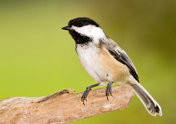 """<div class=""""jaDesc""""> <h4> Chickadees Back from Woods - September 27, 2007</h4> <p> It is nice to have the Chickadees back in our yard again.  They disappear in late spring to nest in the woods.  They often have as many as 6 to 10 chicks which keeps them extremely busy gathering food.</p> </div>"""