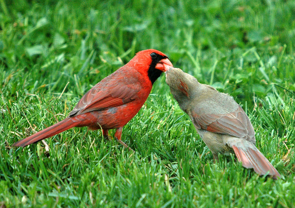 """<div class=""""jaDesc""""> <h4> Male Cardinal Courting Female by Passing Sunflower Seed</h4> <p></p> </div>"""