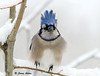 "<div class=""jaDesc""> <h4> Blue Jay with Wind-blown Crest </h4> </div>"