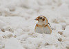 """<div class=""""jaDesc""""> <h4> Snow Bunting with Snow Chunk - January 1, 2013 </h4> <p>Each Snow Bunting maneuvered through the lumps of plowed snow looking for something interesting to eat.  This guy found a chunk of snow with an embedded seed. </p> </div>"""