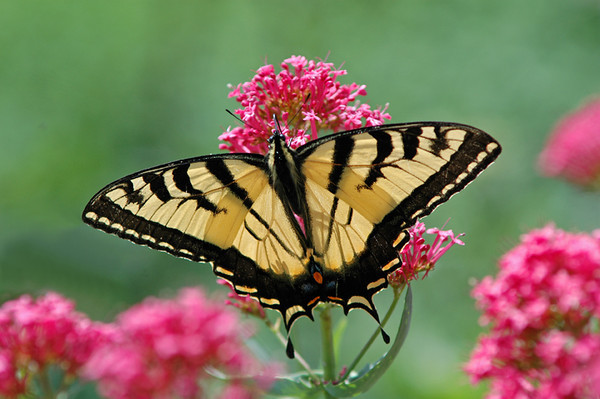 "<div class=""jaDesc""> <h4> Eastern Tiger Swallowtail on Phlox</h4> </div>"