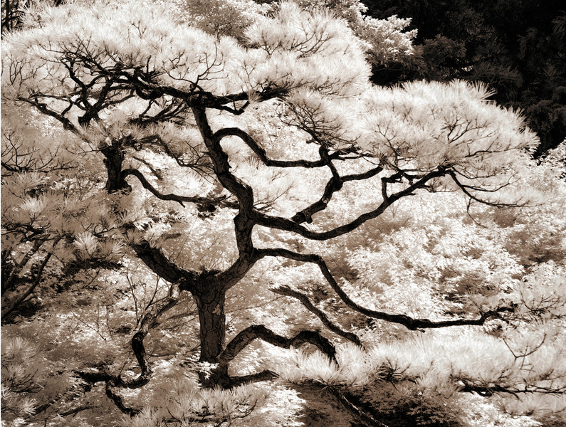 Pine tree, Rengeji, Kyoto, Japan © Laurel Casjens
