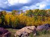 Image #1016. Yellow Aspens.