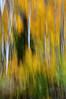 Image #0140.  Aspen and Evergreen Tree Swipe. 2010