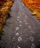 "Image #1893.  ""Bear Tracks"". Yellowstone National Park, WY."