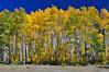 Image # 0083.  Quaking Aspen Trees. 2010
