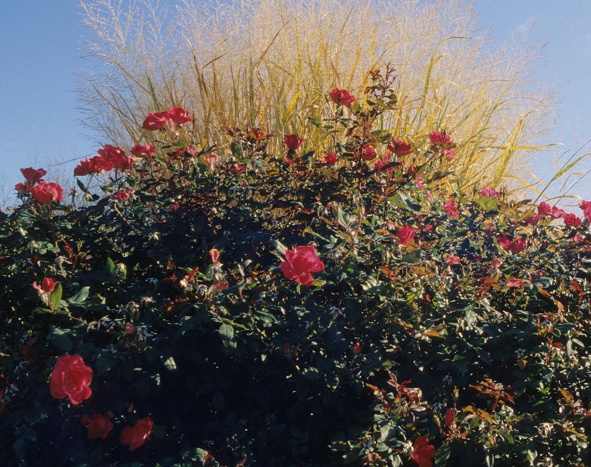 Roses at Xavier