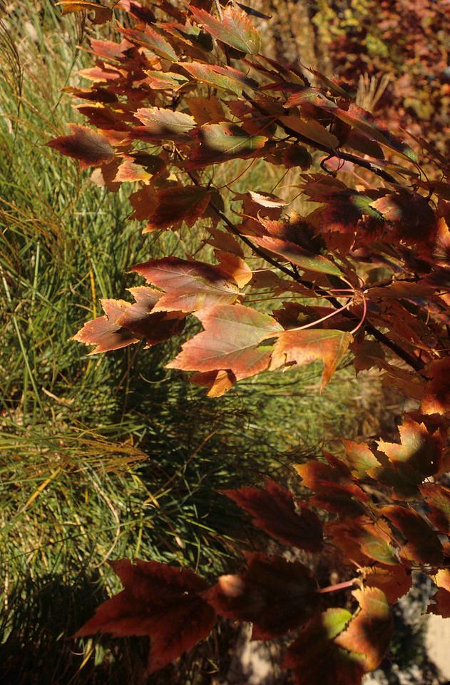 Red Maple at Xavier University