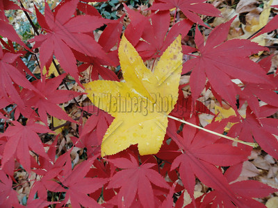 Yellow Leaf with Red Friends