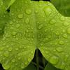 Rain on Green Leaf