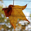 Leaf On Window