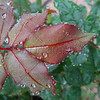 Morning Dew on Red Leaves