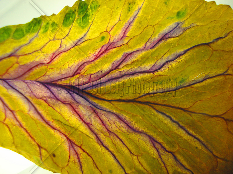 Yellow Cabbage Leaf