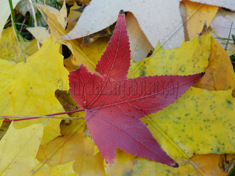 Red Leaf with Yellow Friends